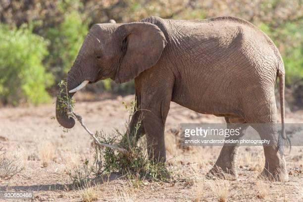 desert elephant. - desert elephant stock pictures, royalty-free photos & images