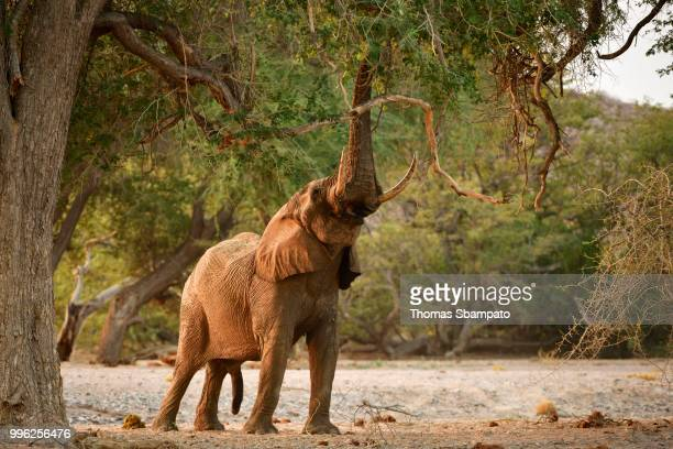 Desert elephant (Loxodonta africana) tears leaves and branches from a tree, Huab River, Namibia
