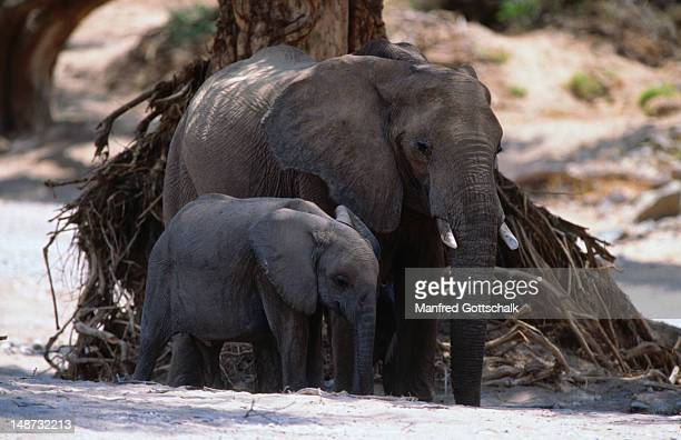 Desert elephant with calf, valley of the Hoanib river, Damaraland/Kaokoland