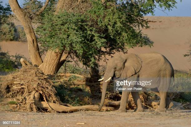 desert elephantn elephant (loxodonta africana), in the dry riverbed of the huab, damaraland, namibia - desert elephant stock pictures, royalty-free photos & images