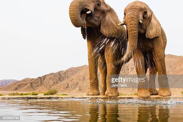 Desert elephants drinking