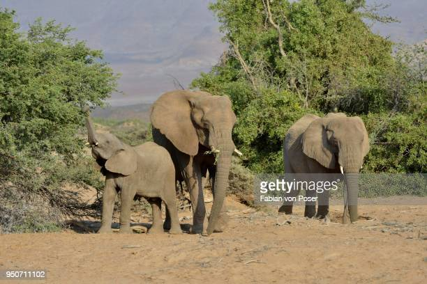 desert elephants or african elephants (loxodonta africana), in the dry riverbed of the huab, damaraland, namibia - desert elephant stock pictures, royalty-free photos & images