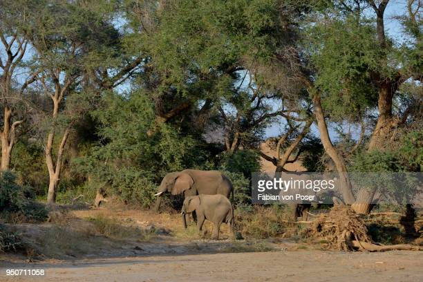 desert elephantsn elephants (loxodonta africana), by the dry riverbed of the huab, damaraland, namibia - desert elephant stock pictures, royalty-free photos & images