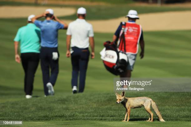A desert fox is seen during Day One of the Abu Dhabi HSBC Golf Championship at Abu Dhabi Golf Club on January 16 2019 in Abu Dhabi United Arab...