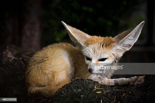 du désert fox - fennec photos et images de collection