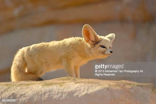 desert fox - fennec photos et images de collection