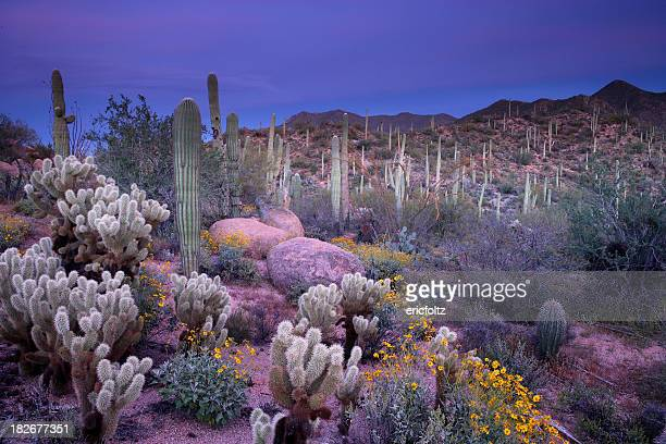 desert garden - sonoran desert stock pictures, royalty-free photos & images