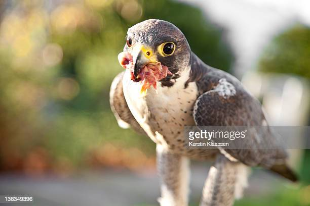 desert hawk eating a chicken - chicken hawk stock pictures, royalty-free photos & images