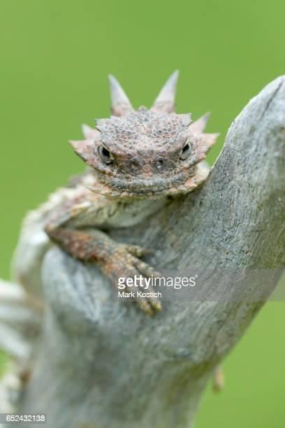Desert Horned Lizard on Log