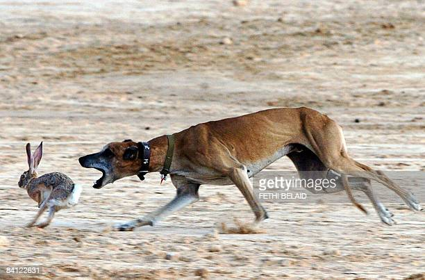 A desert hunting dog a Sloughi or Arabian greyhound catches a hare during the opening of the Sahara International Festival in Douz southwestern...