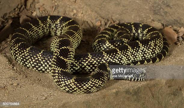 desert king snake - kingsnake stock photos and pictures