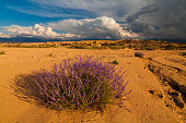 Desert landscape with flowering lavender bushes