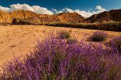Desert landscape with flowering lavender bushes