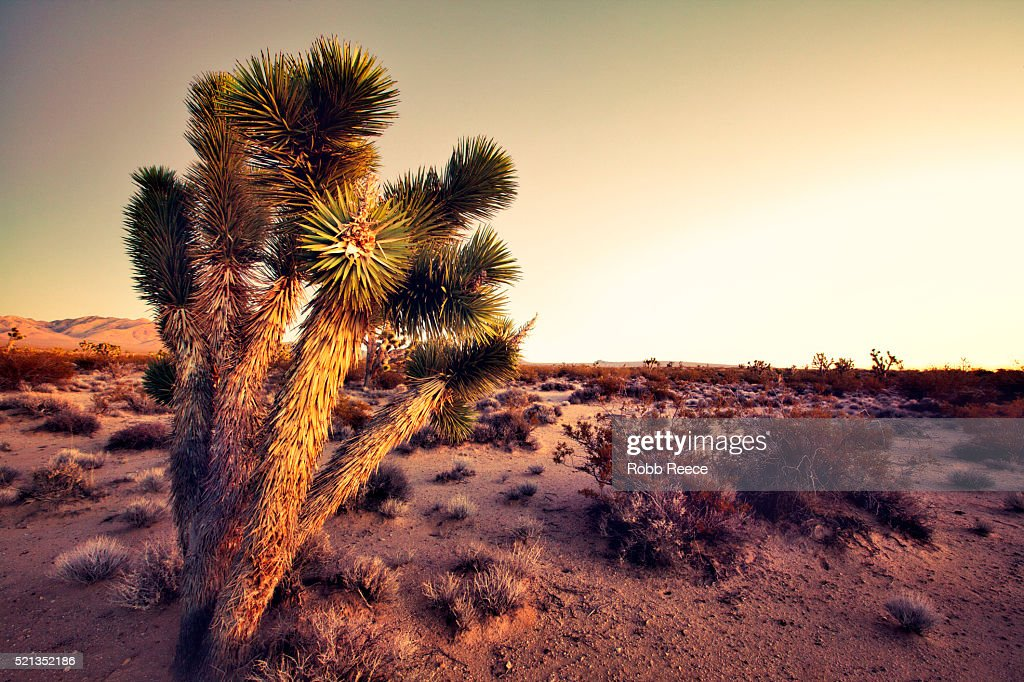 Desert landscape with Joshua trees at sunset in the Mohave Desert : Stock Photo