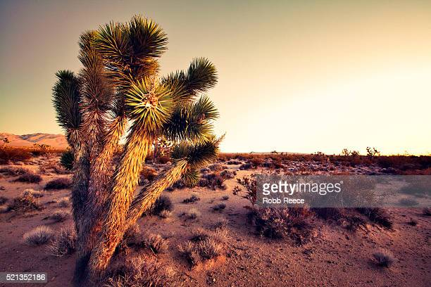 desert landscape with joshua trees at sunset in the mohave desert - robb reece stockfoto's en -beelden
