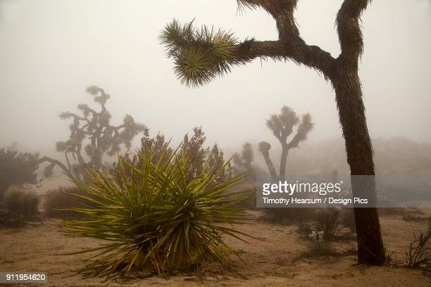 desert landscape with joshua trees (yucca brevifolia), yucca plants, cholla cactus (cylindropuntia) and other plants in winter fog at joshua tree national park - timothy hearsum stockfoto's en -beelden