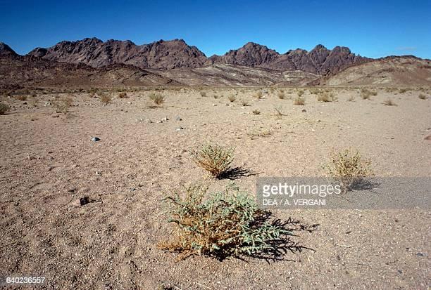 Desert landscape with shrubs Sinai Desert Egypt