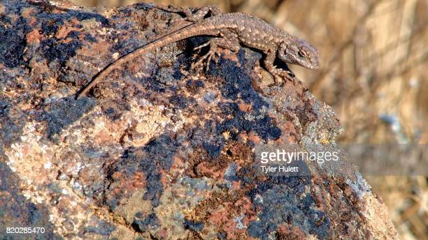 desert lizard wildlife 1 painted hills oregon 22 - steens mountain stock pictures, royalty-free photos & images