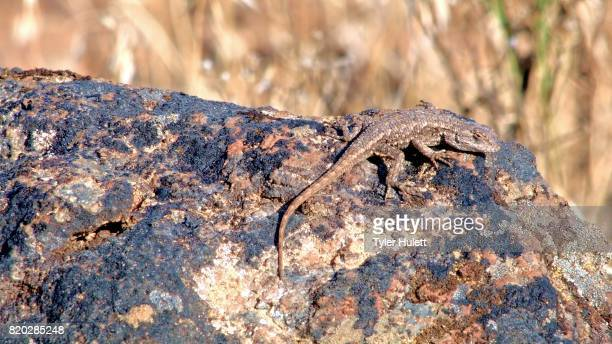 desert lizard wildlife 2 painted hills oregon 23 - steens mountain stock pictures, royalty-free photos & images