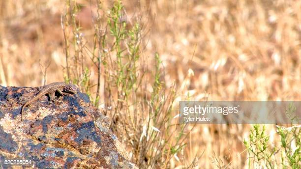 desert lizard wildlife 3 painted hills oregon 24 - steens mountain stock pictures, royalty-free photos & images