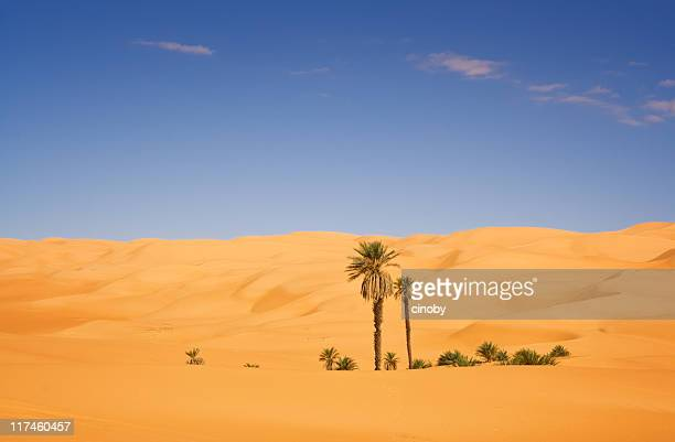 desert palm - date palm tree stock pictures, royalty-free photos & images