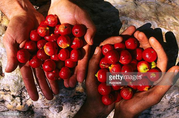 Desert quandong edible fruit The tree also provides Aboriginal people with some medicines Occurs in arid and semiarid Australia