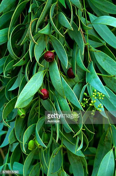 Desert quandong Santalum lanceolatum bush food very rich in Vitamin C This species is a Sandalwood but has no oil or aroma Northern Territory Central...