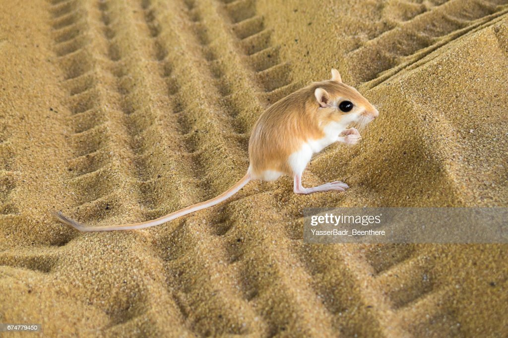 Desert Rat : Stock Photo