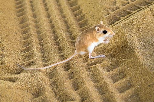 Desert Rat 674779450