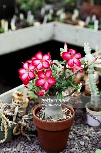 Desert rose Apocynaceae