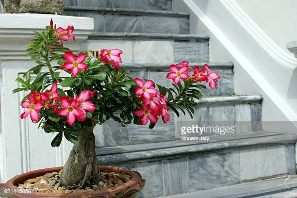 Desert rose bonsai tree and marble staircase Bangkok Thailand