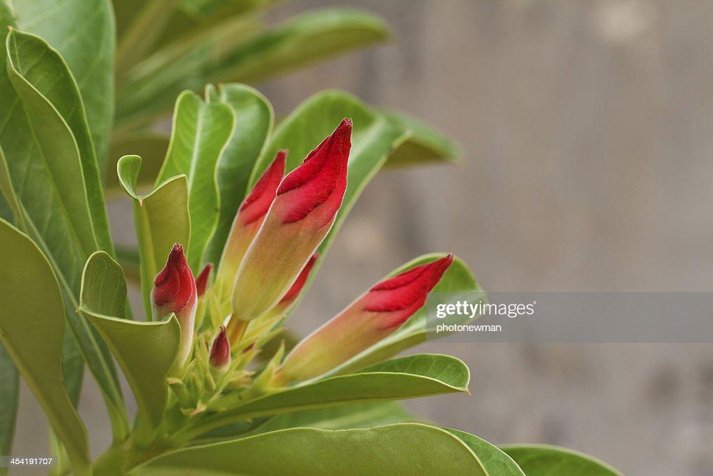 Rosa do deserto : Foto de stock