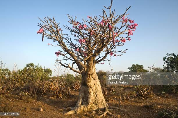 Desert rose ( Ethiopia)