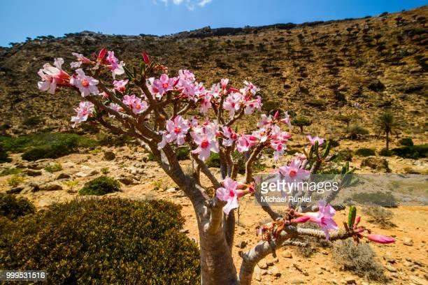 Desert Rose tree (Adenium obesum) in bloom, endemic species, Homhil protected area, island of Socotra, Yemen