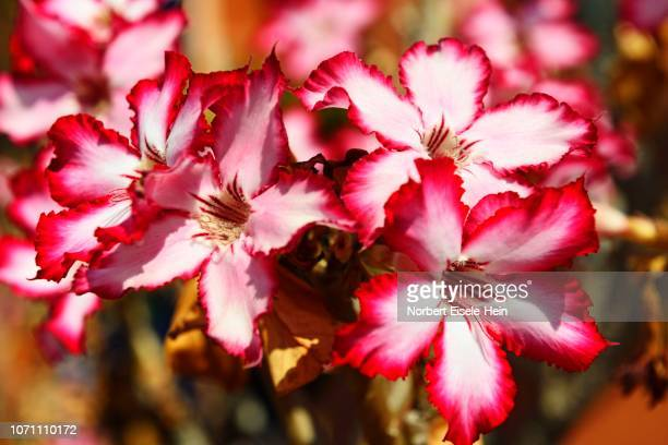 Desert rose (Adenium obesum) , Zambia