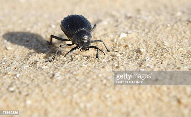 A desert scarab plugs away in the sand in the Egyptian White Desert 02 September 2007 an estimated area of 1800 square kilometers worldwide known for...