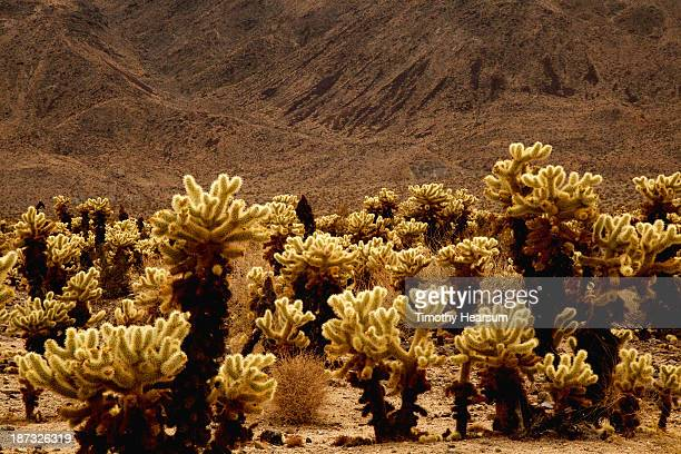 desert scene with cholla cactus - timothy hearsum stock pictures, royalty-free photos & images
