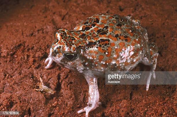 Desert spade foot toad Notaden nichollsi Telfer Great Sandy Desert Western Australia