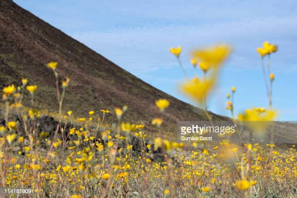 desert sunflower blooming in amboy crater, mojave trails national monument, ca - amboy california stock photos and pictures