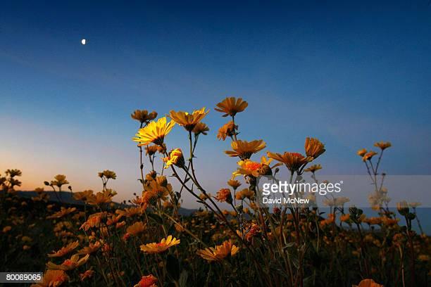 Desert sunflowers begin the annual desert bloom before sunrise near Amboy Crater National Natural Landmark as a nearnormal rain season follows a...