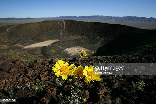 Desert sunflowers begin the annual desert bloom on top of Amboy Crater National Natural Landmark as a nearnormal rain season follows a nearrecord dry...