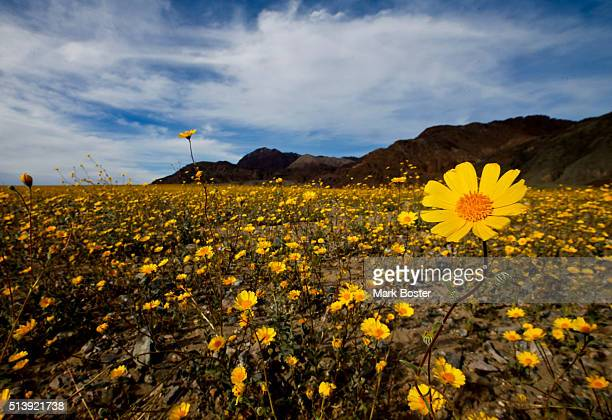 Desert sunflowers cover the desert in the Badwater Basin area off Highway 178 in Death Valley National Park A rare 'super bloom' of wildflowers is...
