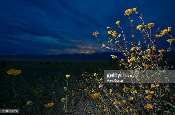 Desert Sunflowers in the Badwater Basin area reach for the sky during a rare 'super bloom' of wildflowers in Death Valley National Park March 4 2016...