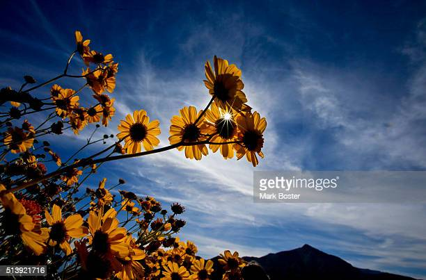 Desert Sunflowers stretch out near Highway 190 near Father Crowley Vista Point during a rare 'super bloom' of wildflowers in Death Valley National...