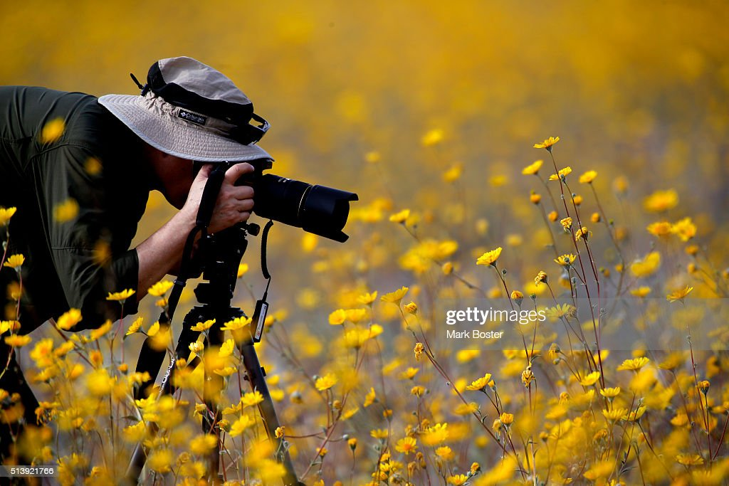 Desert Sunflowers surround a photographer during a rare 'super bloom' of wildflowers in Death Valley National Park in the Badwater Basin area off Highway 178 March 4, 2016. The hottest, driest, lowest place in North America is covered in carpets of gold and patches of purple, attracting tourists from all over the world