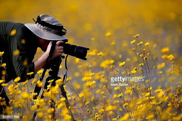 Desert Sunflowers surround a photographer during a rare 'super bloom' of wildflowers in Death Valley National Park in the Badwater Basin area off...