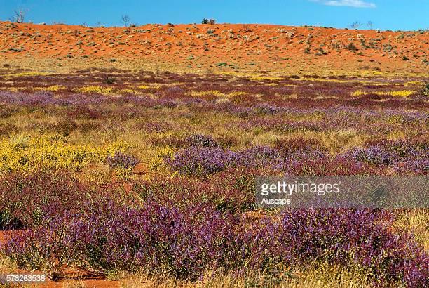 Desert vegetation and sand dunes, Great Sandy Desert, Western Australia, Australia.
