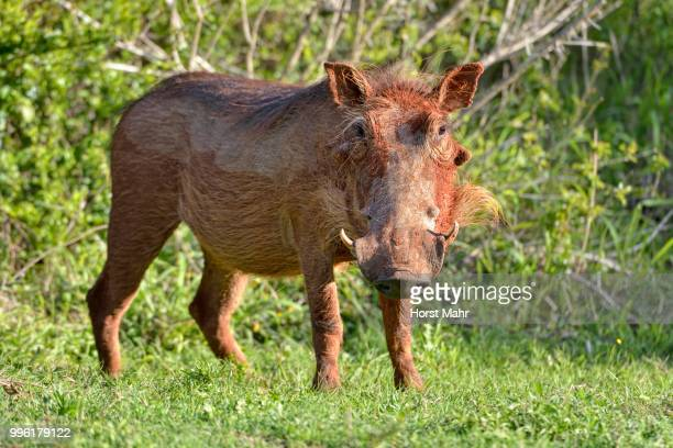 desert warthog (phacochoerus aethiopicus), addo elephant national park, addo, eastern cape, south africa - desert elephant stock pictures, royalty-free photos & images