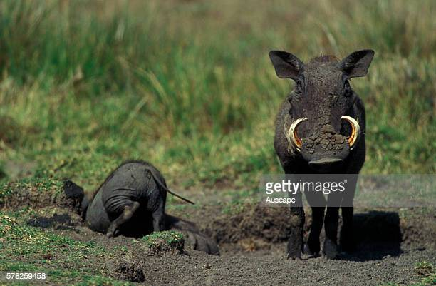Desert warthog Phacochoerus aethiopicus one animal facing photographer the other half in a mud hole East Africa