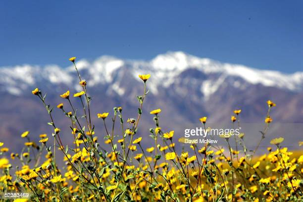 Desert wildflowers bloom against a backdrop of the snowcapped Panamint Mountains on March 12 2005 in Death Valley National Park California The...